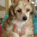 čínský chocholatý pes – labutěnka foto je přibližné!