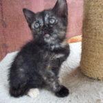 KOTĚ (černorezavá kočička)